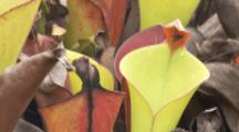Pitcher Plants, One With Fly