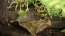 Yellow-Banded Poison Dart Frogs Feed On Insects In Rainforest