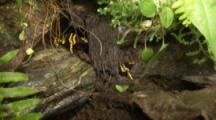Yellow-Banded Poison Dart Frogs On Tree In Rainforest
