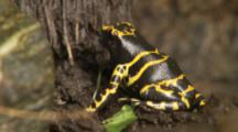 Yellow-Banded Poison Dart Frog On Tree In Rainforest