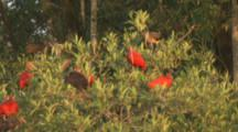 Scarlet Ibis Roost In Mangroves Next To River