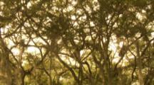 Red Howler Monkeys Climbing In Tree