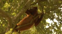 Red Howler Monkey Climbing In Tree