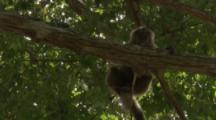 Capuchin Monkey Hangs In Tree,Zoom In To Face