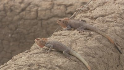 Agama Lizards Crawling On Rock