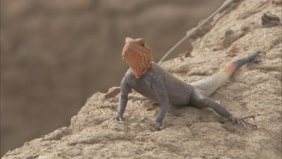 Agama Lizard Crawling On Rock
