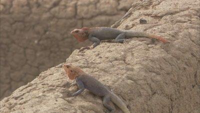 Agama Lizards On Rock