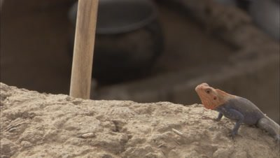 Agama Lizard Doing Push Ups