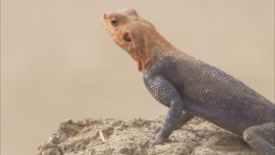 Agama Lizard Crawling On Rock