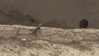 Agama Lizard Crawling