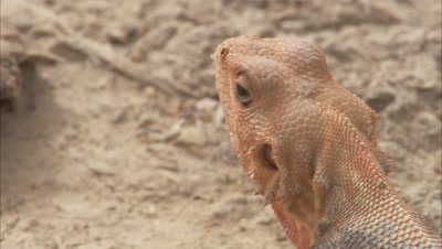 Close Up Agama Lizard Orange Head