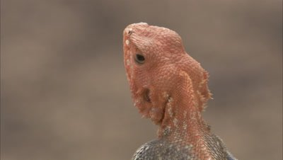 Close Up Agama Lizard Orange Head