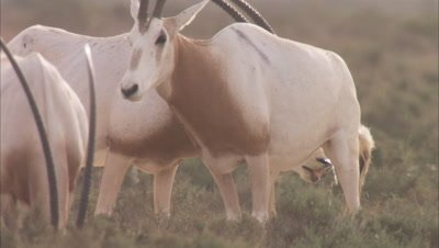 Herd of Oryx, one Urinates, Other Investigates