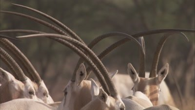 Herd of Oryx standing In A Grassland