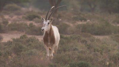 Oryx Standing In A Scrub Landscape