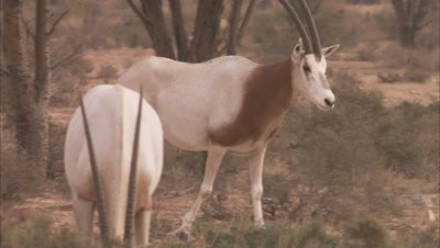 Oryx Walks In A Scrub Landscape