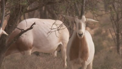 Oryx Rubs Head, Horns on shrub