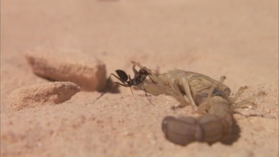 Desert Ants Attacking A Scorpion