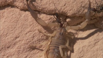 Desert Ants Feed On Scorpion
