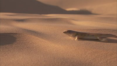 Sandfish Skink In Desert, Scurries Away, Buries Itself