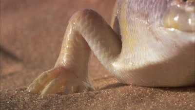 Sandfish Skink In Desert, focus on Foot, Leg