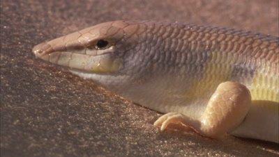 Sandfish Skink In Desert, Pan Length of Body, Skin