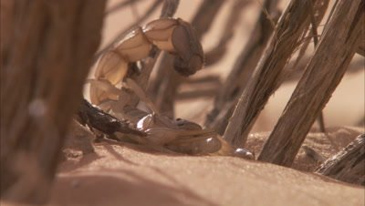 Scorpion In Desert Blowing Sand