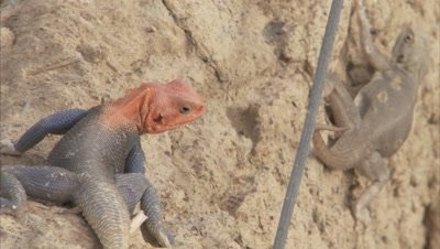 Agama Lizards Crawl on Stone Structure of Mosque