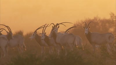 Herd of Scimitar Oryx at Dusk or Dawn