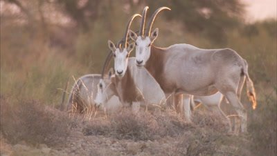 Herd of Scimitar Oryx