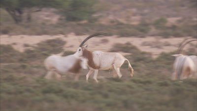 Scimitar Oryx Chse Each Other