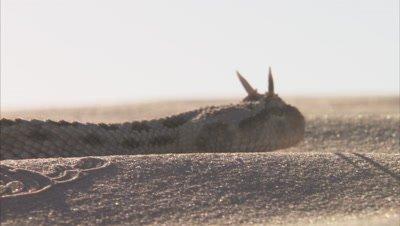 Saharan Horned Viper Crawls In Desert