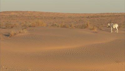 Addax Grazing In A Desert