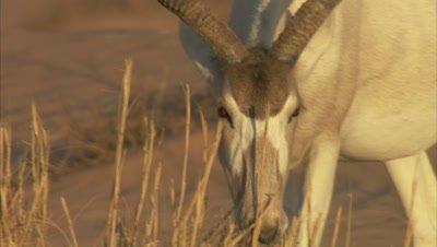 Addax Walking In A Desert