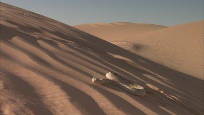 Saharan Horned Viper Crawls up Sand Dune