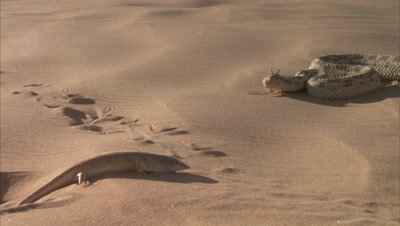 Saharan Horned Viper And A Sandfish on Sand Dune
