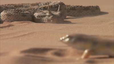 Saharan Horned Viper And A Sandfish on Sand