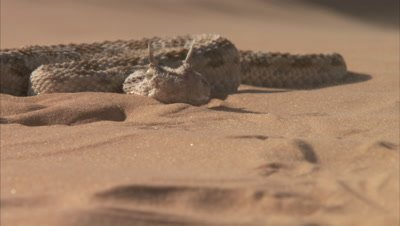 Saharan Horned Viper Rests on Sand