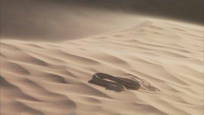 Saharan Horned Viper Crawls across Sand