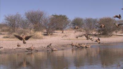 Flock of Sandgrouse Land, Take off at Waterhole