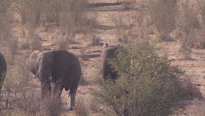 Elephants Walk in Bush next near Boteti