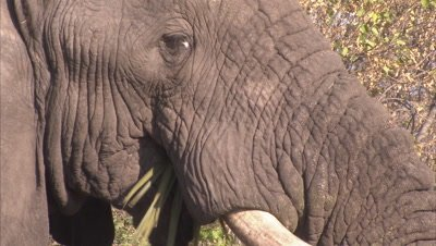 Elephant Grazes Near Boteti River