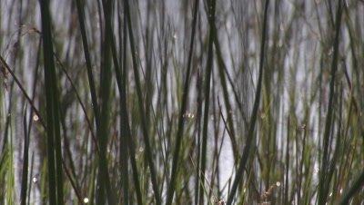 Okavango Delta, Close Up Aquatic Plants