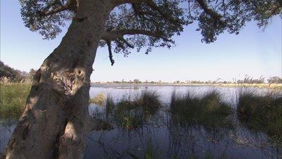 Tree at Okavango Delta