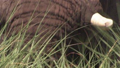 Elephant Grazes in Tall Grass