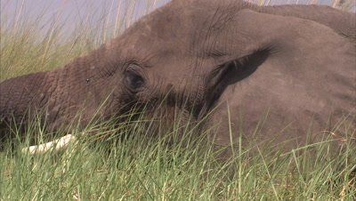 Elephant Grazes in Tall Grass Next to Water