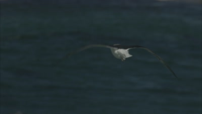 Seabirds Fly Above Waves, One with Food in beak, possibly sea Sea Gull, Sea Bird