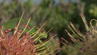 Chameleon On Protea Flower