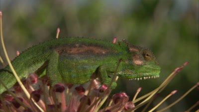 Chameleon Climbs On Protea Flowers