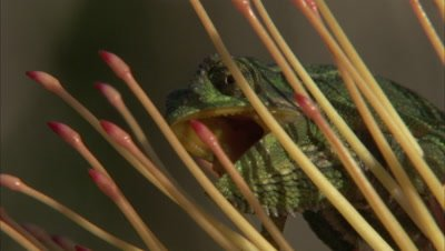 Chameleons On Protea Flower, Appear to Fight